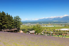 Lavender field in Furano, Hokkaido with some tourists walking by in the background Stock Photo