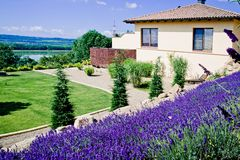 Lavender Field in garden Stock Photography