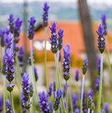 Lavender Field gardening, plant, bunch, floral Stock Photo
