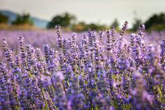 Lavender field in Grand Luberon, Provence, Fran Stock Images