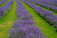 Lavender Field And Green Grass Stock Photos