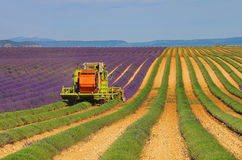 Lavender field harvest Stock Photography