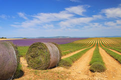 Lavender field harvest Stock Images