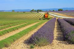 Lavender field harvest Stock Image
