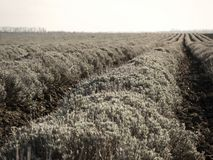 Lavender Field After Harvest Stock Image