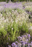 Lavender field Royalty Free Stock Photo