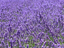 Lavender. Field in Hokkaido japan Stock Photo