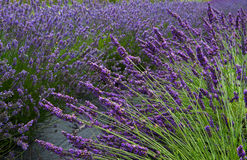 Lavender Field Horizontal Near Royalty Free Stock Image