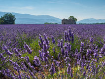 Lavender field with house ruins Royalty Free Stock Photos