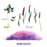 Lavender field illustration set with blueberries Stock Images