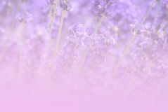 Lavender field im vintage tone background royalty free stock photography