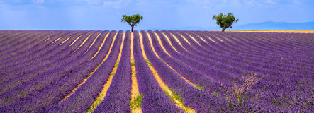 Free Lavender Field In Valensole On A Summer Afternoon. South Of France Stock Photos - 91501203