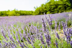 Lavender field in Italy royalty free stock photo