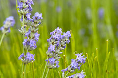 lavender in a field landscape Royalty Free Stock Image