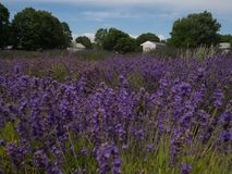 Lavender field with farm house. Lavender field landscape with farm house royalty free stock images