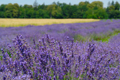 Lavender Field Landscape Royalty Free Stock Image