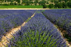 Lavender field (Lavandula angustifolia). In Provence, France Royalty Free Stock Photo