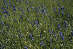 Lavender, field of lavender Royalty Free Stock Image