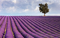 Lavender field and a lone tree. Image shows a  lavender field in Provence, France, with a lone tree in the background Royalty Free Stock Image