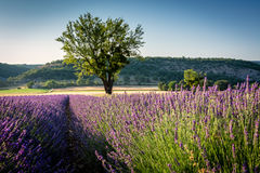 Lavender field and lonely tree in Provence Stock Photo