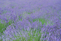Lavender field. With the look of paintbrush Royalty Free Stock Photo