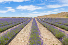 Lavender field in Mackenzie District, the South Island of New Zealand Stock Photos