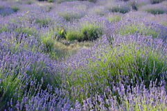 Lavender field on a Mediterranean wind Royalty Free Stock Images