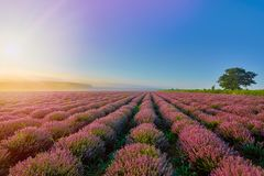 Lavender Field in the Morning Stock Images