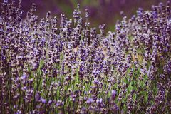 Lavender Field of Mount Hood in Oregon. Closeup of beautiful and tranquil lavender field in Hood River Oregon stock images