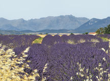 Lavender field with mountain. Royalty Free Stock Photography