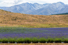 Lavender field with  mountain cover with snow at the background Royalty Free Stock Photos