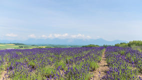 Lavender field and mountain in summer at hokkaido japan Royalty Free Stock Photos