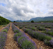 Lavender field in the mountains Royalty Free Stock Image