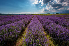 Lavender field, near Kazanlak, Bulgaria. Lavender field at the end of June, near Kazanlak, Bulgaria Stock Image