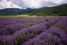 Lavender field near Kazanlak, Bulgaria. Lavender field at the end of June, near Kazanlak, Bulgaria Stock Photo