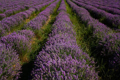 Lavender field, near Kazanlak, Bulgaria Royalty Free Stock Photography