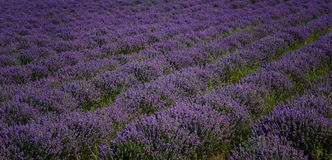 Lavender field, near Kazanlak, Bulgaria Royalty Free Stock Photos
