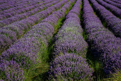 Lavender field, near Kazanlak, Bulgaria Stock Photos