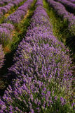 Lavender field near Kazanlak town, Bulgaria Royalty Free Stock Images