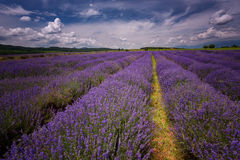 Lavender field near Kazanlak town, Bulgaria Royalty Free Stock Photography