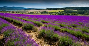 Lavender field near Sault in the Provence area in France stock photo