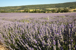 Lavender field near Sault in Provence Royalty Free Stock Photography