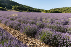 Lavender field near Sault in Provence Stock Photography