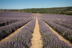 Lavender field near Sault in Provence Royalty Free Stock Photo