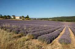 Lavender field near Sault in Provence Stock Image