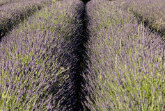 Lavender field near Sault in Provence Stock Photo