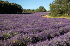 Lavender field near Sault in Provence Stock Photos