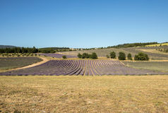 Lavender field near Sault in Provence Royalty Free Stock Image