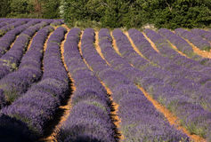 Lavender field near Sault in Provence Stock Images
