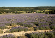 Lavender field near Sault in Provence, Stock Image